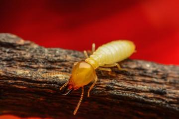Truc et astuce pour éliminer les termites