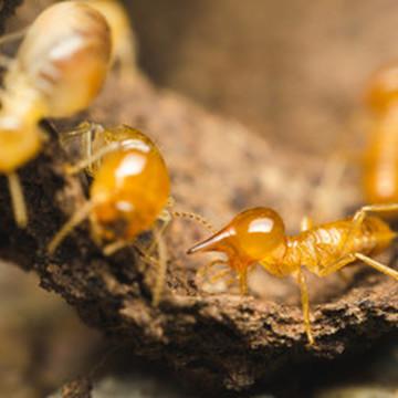 Comment traiter les termites dans une maison ?